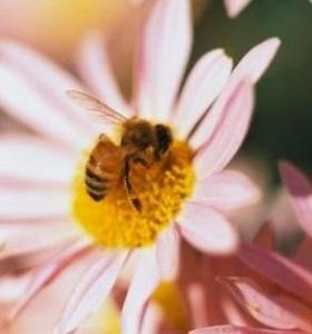 Ползи и лечебни ефекти на  пчелната отрова